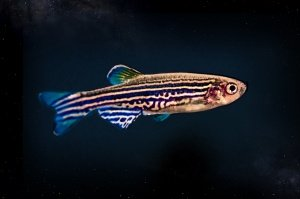 FISHinSPACE – Zebrafish Larvae to Study Vertebrate Physiology in Space